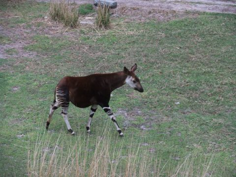 Makemba the Okapi at Kidani Village